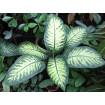 Foto de Plantines de Dieffenbachia Mariana - en Maceta Numero 8