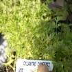 Foto de Planta Cylandro Confety  en Maceta de  14 Centímetros