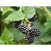 Foto de Rubus Fruticosus Black Satin