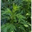 Foto de Artemisa - Artemisia Vulgari. 1 GR.