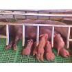 Foto de Cerdos Ibéricos Certificados. 50%duroc. Lotes Dede Lechones