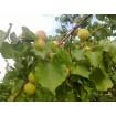 Foto de Venta de Fruta de Hueso al por Mayor