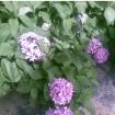 Foto de Hortensia Blanca en Maceta de 17 Centímetros