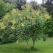 Foto de Koelreuteria Paniculata Calibre 10/12