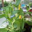 Foto de Planta de Stevia Rebaudiana en Maceta de 14 Cen