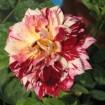 Foto de Rosal Oloroso,arbustivo,grandiflora-Julio Iglesias en Maceta de 19 Cen/ Nº 15 Rojo