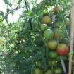 Foto de Semillas Tomate Palosanto. 1000 Semillas