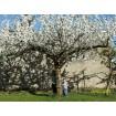 Foto de Cerezas Ecológicas del Bierzo