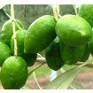 Foto de 5 Plantas de Olivo. Variedad Picual. Altura 100 Cm Aproximado. 5 Plantas