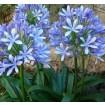 Foto de Agapanto Azul. Flor del Amor, Lirio Africano. en Contenedor de 2 Litros. Altura: 30/35 Cms. 3 Unidades.