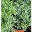 Foto de Planta de Ruda. Maceta de 17 Cm y Altura de 15/20 Cm