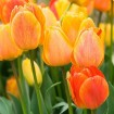Foto de Tulipan Beauty Of Apeldoorn