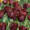 Foto de Tulipan Black Jewel 10 Ud Bulbos