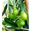 Foto de Planta de Olivo. Variedad Frantoio. Resistencia al Verticillium. Altura 150 Cm.