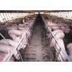 Foto de Granja de 2300 Cerdos de Cebo en Ejea en Funcionamiento