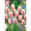 Foto de Tulipan Beau Monde 10ud Bulbos