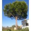 Foto de Pino Piñonero (Pinus Pinea) 25 Semillas