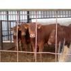 Foto de Becerras Limousinas de 180 a 220 Kg