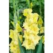 Foto de Bolsa 10 Bulbos Gladiolos Jestergold-Amarillo,flor Rizada