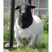 Foto de Borregos,cabras,boer,dorper