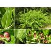 Foto de Coriaria Myrtifolia. Emborrachacabras. Altura:  40/60 Cms.  Edad: 2 Años. 3 Plantas.