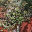 Foto de Planta de Tomillo Real en Maceta de 14 Cm