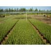 Foto de Planta Forestal de Todo Tipo para Foretaciones y Obra de Todo Tipo