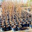 Foto de Lote de 20 Frutales Nacionales en Maceta
