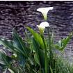 Foto de Zantedeschia Aethiopica. Lirio de Agua. Altura: 30/50 Cms.