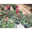 Foto de Planta Cyclamen Persicum en Maceta de 14 Cm