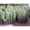 Foto de Cipres Semperviven en Caja de 250 Plantas