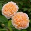 Foto de Rosa The Lady Gardener Rd