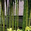 Foto de Phyllostachys Atrovaginata – Bambu – 5Litros – 100Cm de Altura – (Vb)
