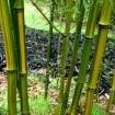 Foto de Phyllostachys Aureosulcata – Bambu – 10Litros – 120Cm -(Vb)