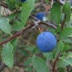 Foto de 2026 – Prunus Spinosa – Endrino – 2Litros – 40cm de Altura – (To)