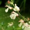 Foto de Salvia Jamensis Var.la Luna – 3Litros – 30cm de Altura – (Sg)