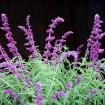 Foto de Salvia Leucantha – 3Litros – 30cm de Altura – (Sg)