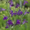 Foto de Salvia Lycioides – 3Litros – 30cm de Altura – (Sg)