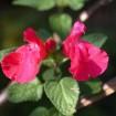 Foto de Salvia Microphylla – 3Litros – 30cm de Altura – (Sg)