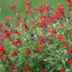 Foto de Salvia Microphylla Var.maraschina – 3Litros – 30cm de Altura – (Sg)
