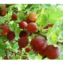 Ribes Crispa Captivator 2l