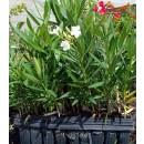 Adelfa (Nerium Oleander) de Bandeja Forestal...