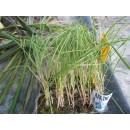 Bandeja 12 Plantas Cebolla Roja
