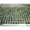 Bandeja 12 Plantas Cebollas de Verdeo