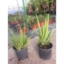 Aloe Vera en Maceta de 17 Centímetros