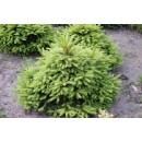 0099 - Picea Abies Var.ohlendorffii - 10 Lit...