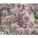 Chamaecyparis Thyoides Var.red Star - Falso...