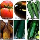 Pack de 50 Plantas para Su Huerto. Tomate Go...