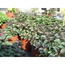 Planta de Menta Naranja en Maceta de 14 Cm