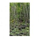 Almendro Guara en Maceta de 25 Centímetros